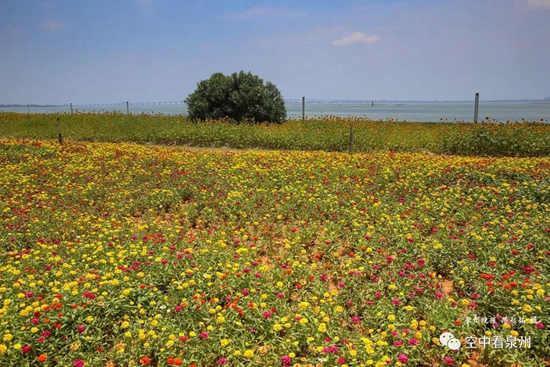 红、黄、橙、粉、白百日草颜色混搭遍地开放犹如地毯