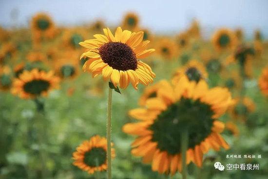 """原以为每一朵向日葵都是朝着太阳的,其实不然,也有比较""""调皮""""不与大队伍看齐的"""