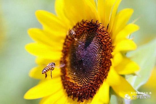 蜜蜂来来去去数量虽多,但行踪飘忽对拍摄者的耐心是一种考验,没有一滴蜂蜜不需要付出辛劳,没有一张图片不需要付出汗水……