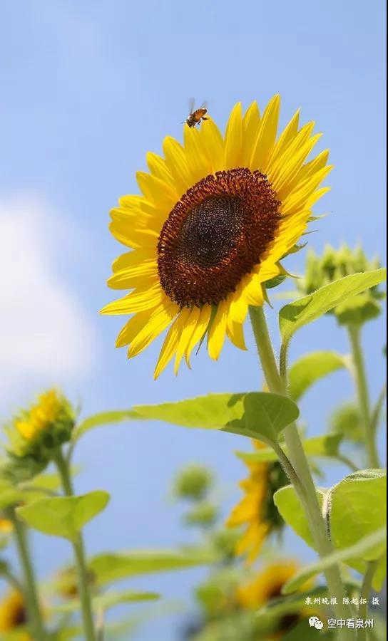 下一站是哪里不知道,蜜蜂的生活一直在流浪,它们在短暂的生命里飞越无数盛开鲜花,见证生命的怒放也悄无声息地消失在风里